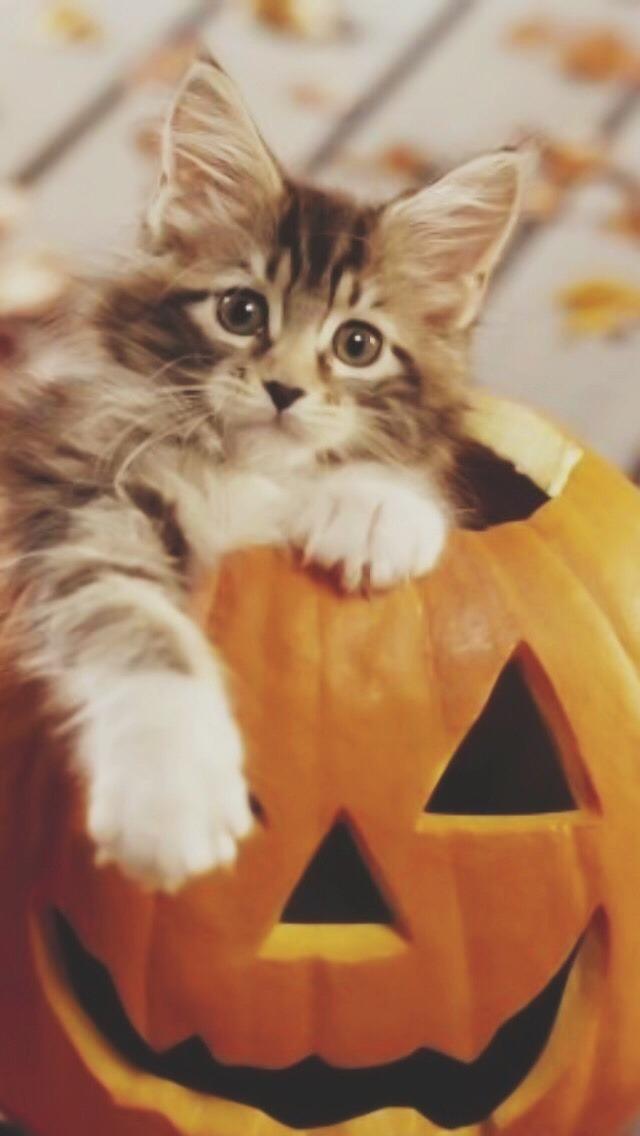 800x600 halloween black cat wallpaper wallpaper halloween black cat. Halloween Kitty Cats 640x1136 Wallpaper Teahub Io