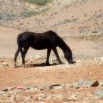 Black Wild Horse 1600x1200 Wallpaper Teahub Io