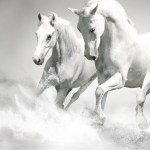 White Horses Majestic Running Water Splash Beach Horse Running Wallpaper Iphone 750x1334 Wallpaper Teahub Io