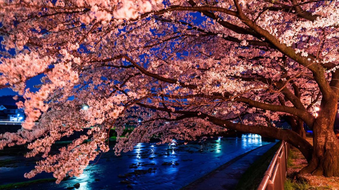 Hd Sakura Tree Live Wallpaper Cherry Blossoms Desktop Backgrounds Hd 2560x1440 Wallpaper Teahub Io