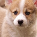 Iphone Wallpaper Corgi Puppy Iphone Corgi Wallpaper Hd 750x1334 Wallpaper Teahub Io