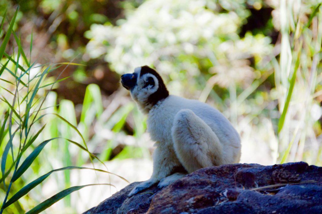 Lémurien blanc
