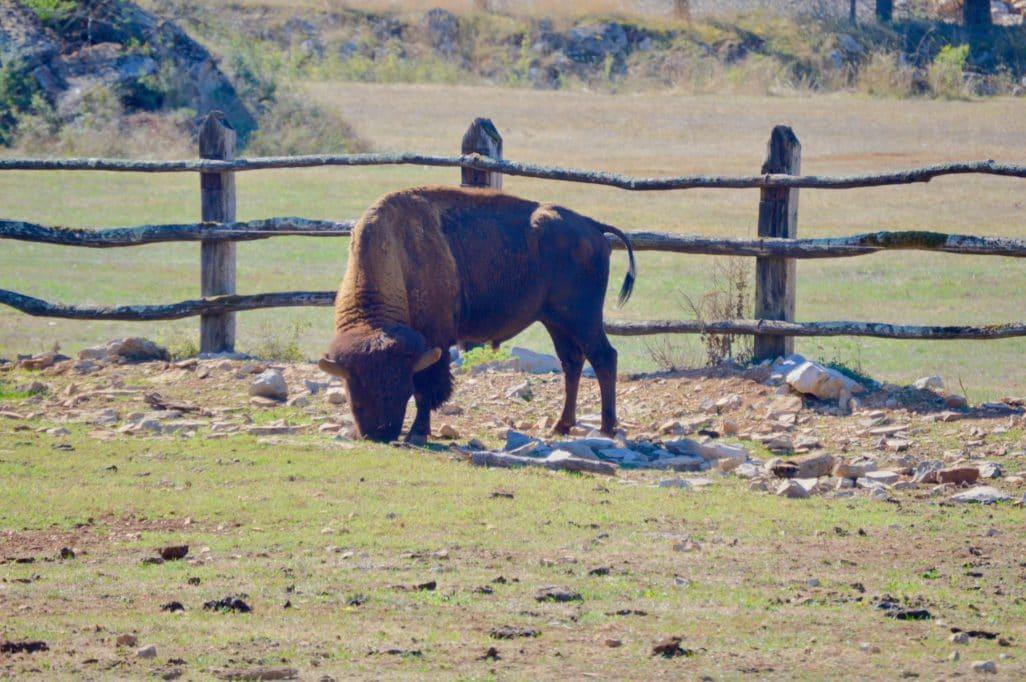 Bison Laveur parc Animalier Gramat