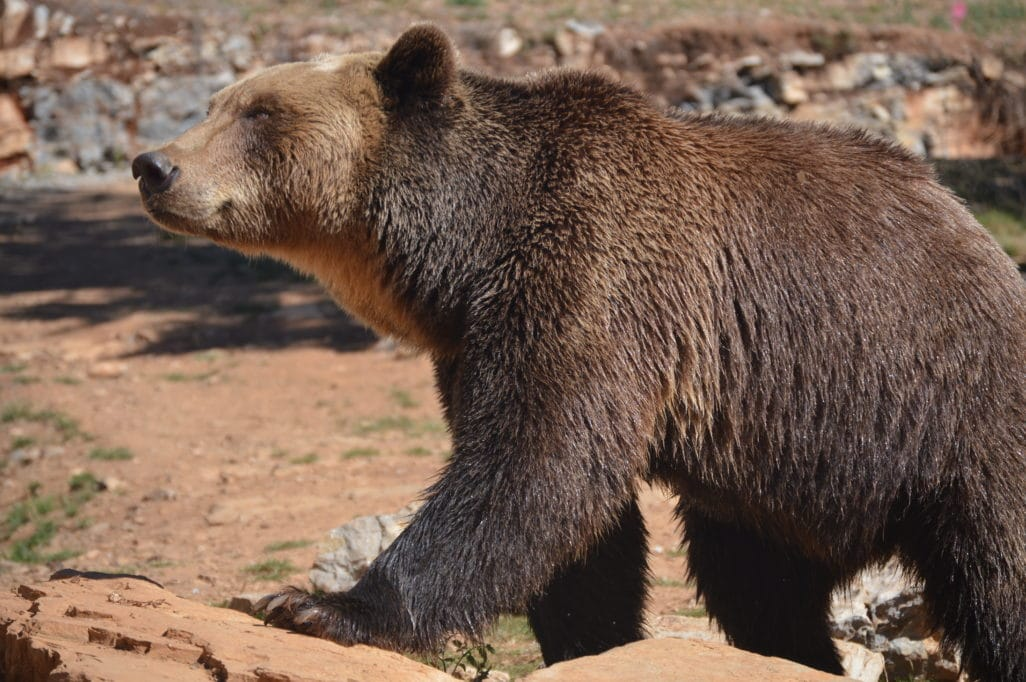 Ours Laveur parc Animalier Gramat