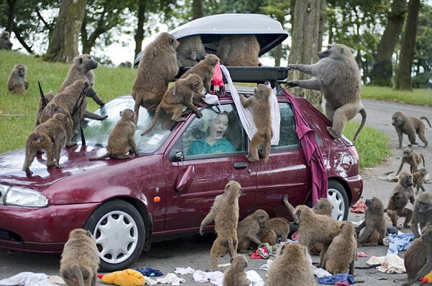 Woman in car at Safari Park with monkeys ripping apart her luggage