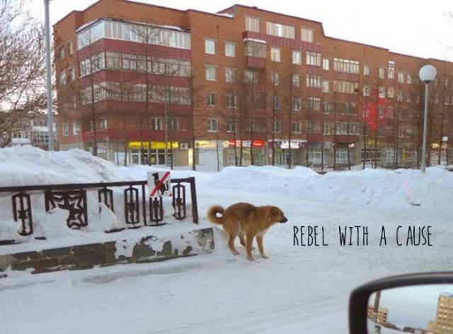 Funny Pictures: no dogs sign, but dog is pooping on it. rebel with a cause