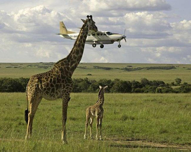 perfectly timed photos ~ giraffe eating airplane