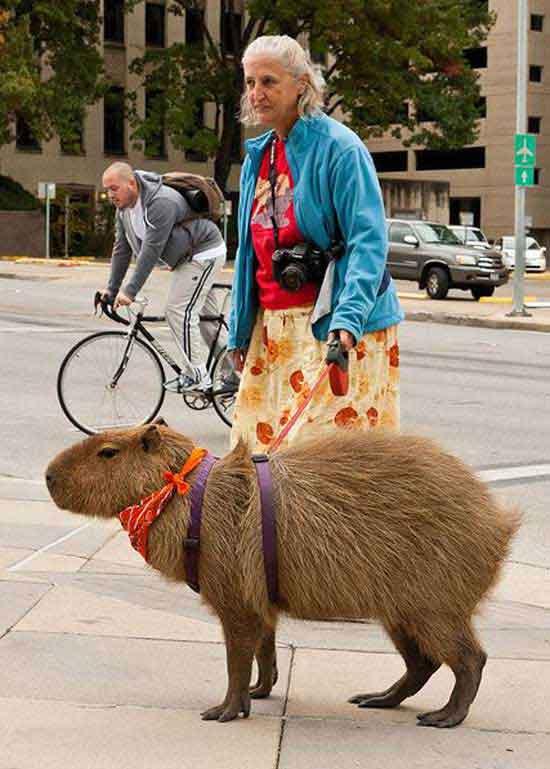 awkward family woman walking capybara on city street
