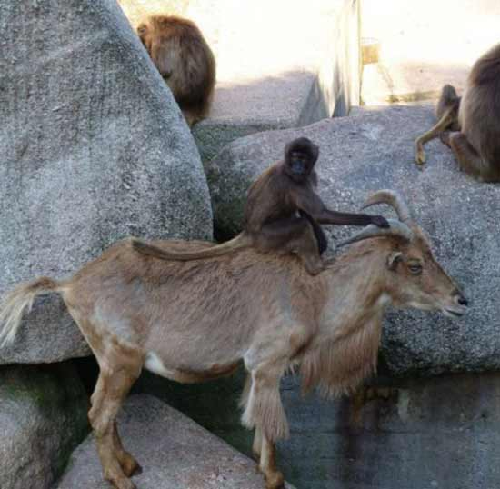 33 Funny Pictures ~ Monkey riding mountain goat