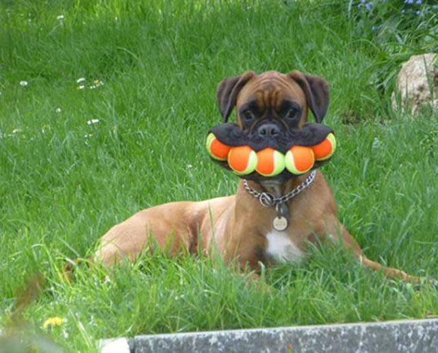 Funny Pics ~ 37 Outrageous Images ~ funny dog with tennis balls stuffed in mouth