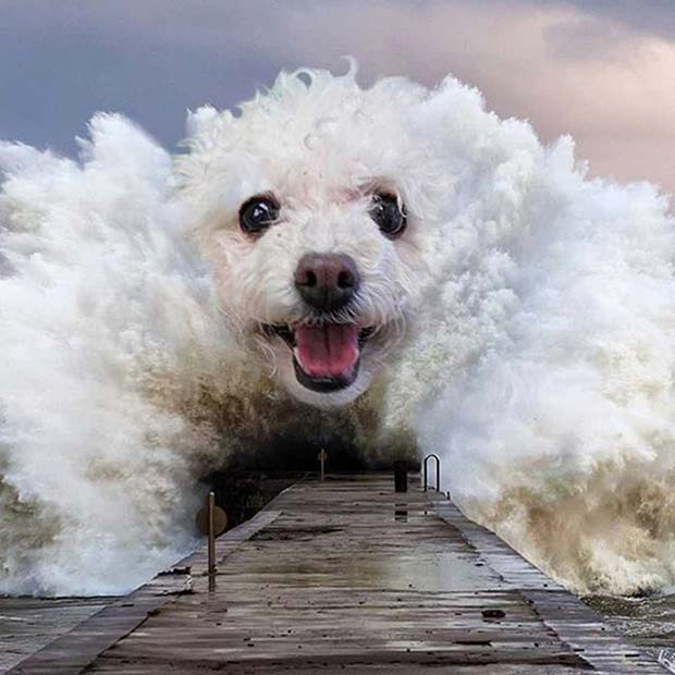 Funny Pics, Cool Stuff ~ poodle dog face in crashing waves