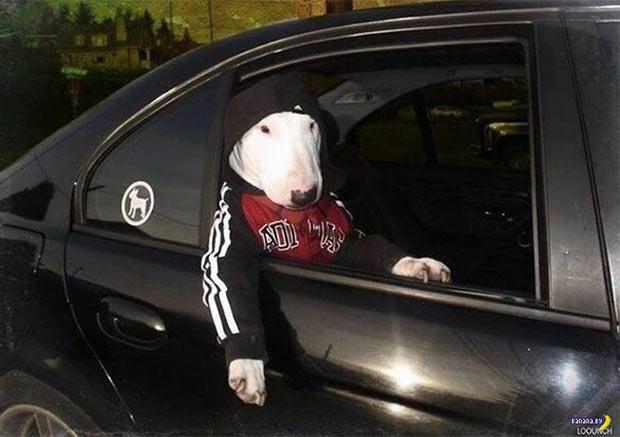 35 Funny Pics ~ gangsta dog thug riding car