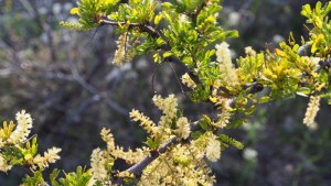 photo of Blackbrush Acacia