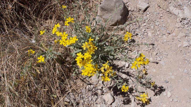photo of Greenstem Paperflower (Psilostrophe sparsiflora (A. Gray))