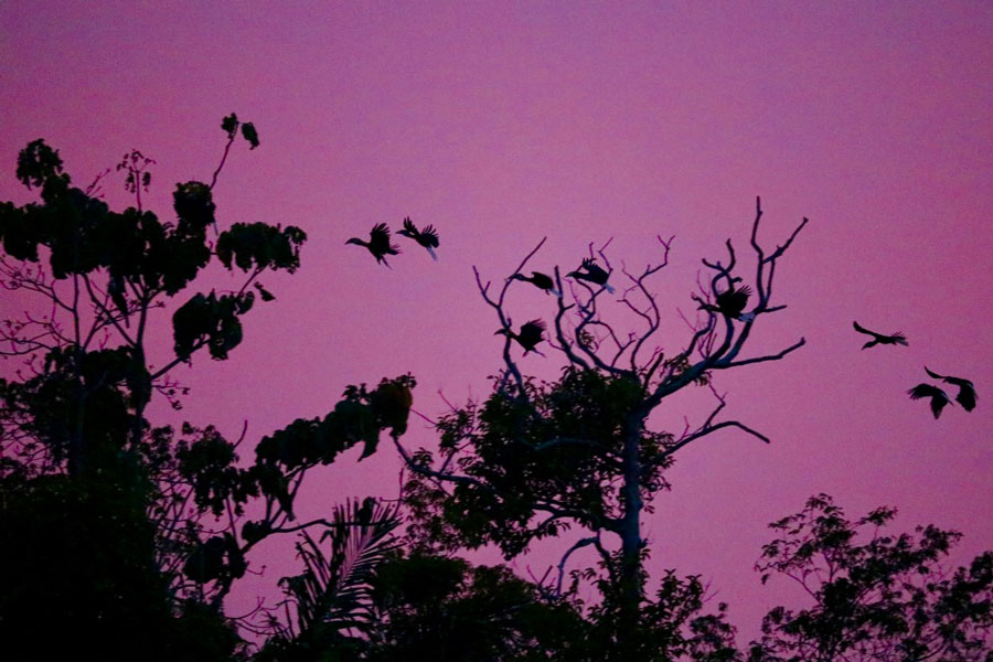 Hornbill Coming to Roost at Sunset