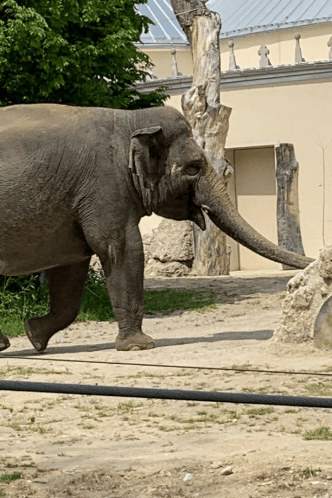 An elephant, one of our favourite animals at Hellabrunn Tierpark