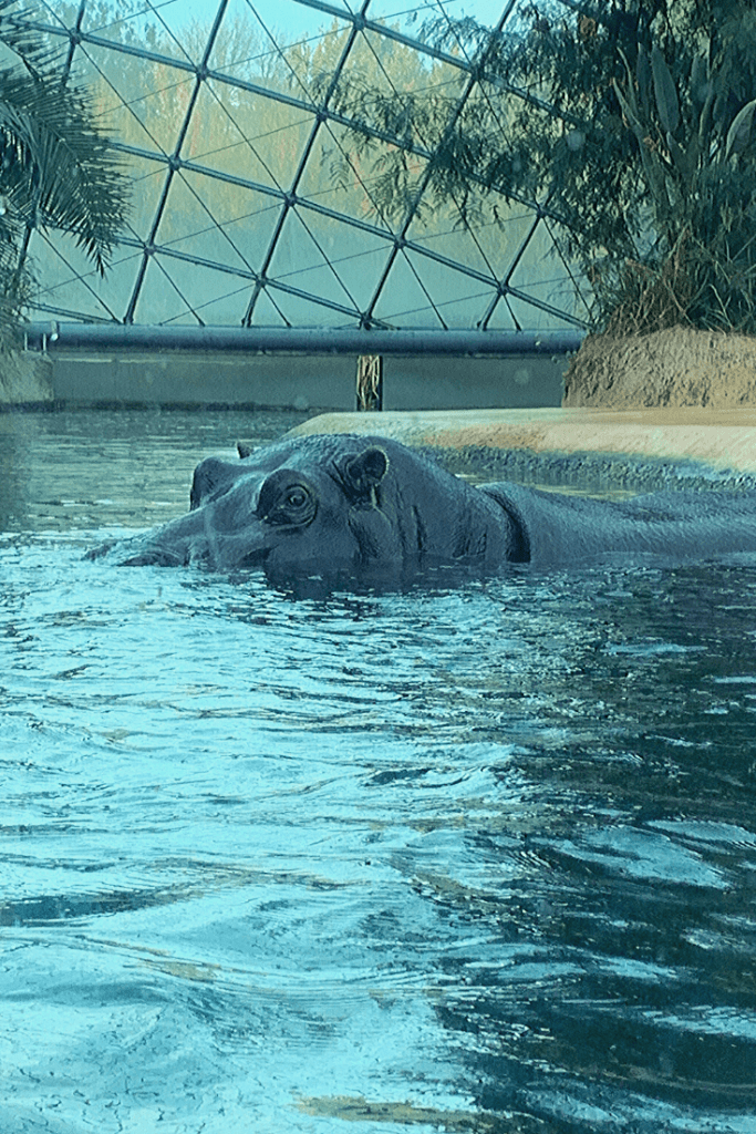 One of the hippopotami during our afternoon at the Berlin Zoo. The enclosure is lovely and the animals love interacting with each other and the crowd.