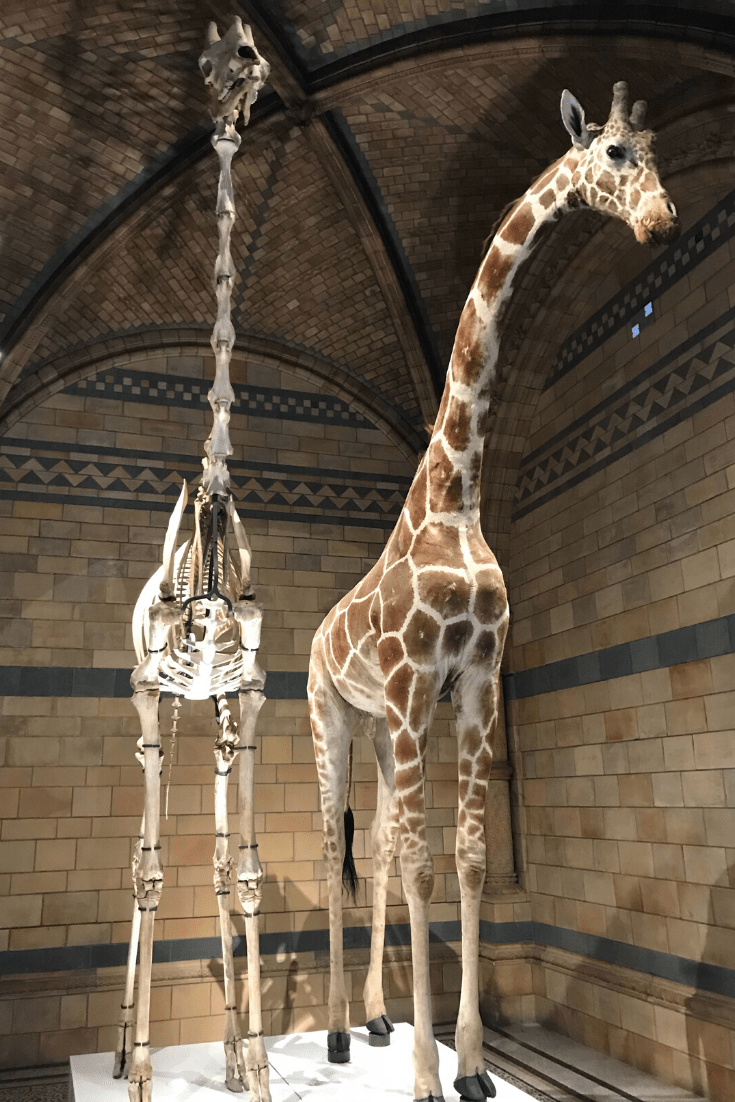 Giraffe - skeleton and stuffed - Hintze Hall at the Natural History Museum, home of London's dinosaurs