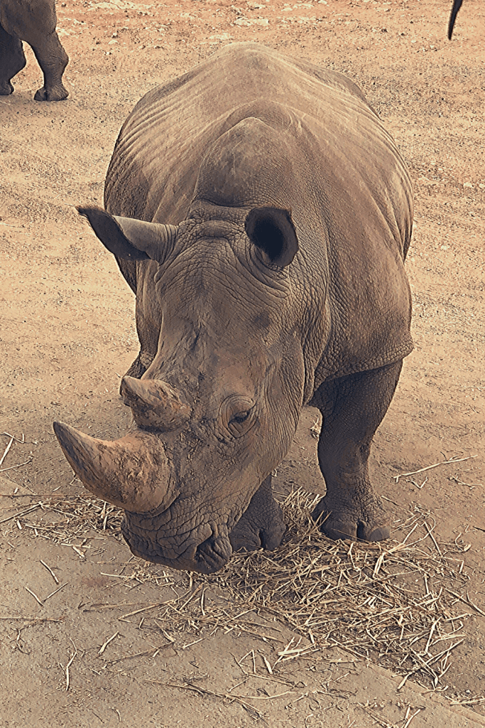 White rhinoceros at Monarto Zoo, one of the top 4 zoos and wildlife parks in and near Adelaide