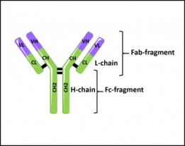 Schematic representation of an antibody with Heavy and Light chains. tebu-bio