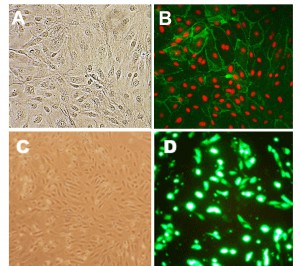 HLMVEC in culture (A). HLMVEC immunolabeled for CD31/PECAM (green); nuclei are visualized with PI (red) (B). HLMVEC transfected with GFP plasmid DNA using the Cytofect™ Endothelial Cell Transfection Kit (C,D)