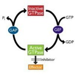 cell signalling - GTPase molecular cycle