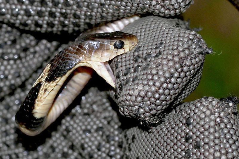 Chinese cobra - Naja antra