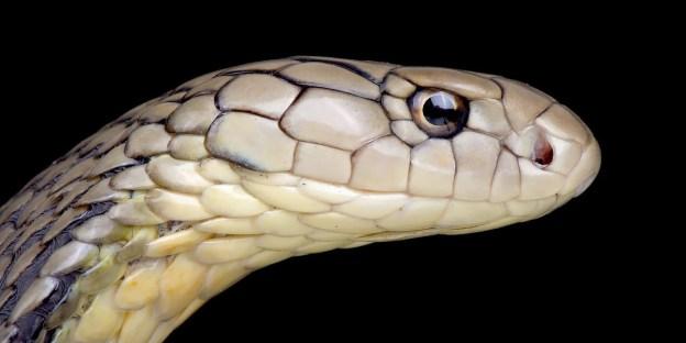 COVID-19 Coronavirus : Why Snakes Are Not Hosts!