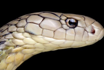 COVID-19 Coronavirus : Why Snakes Are Not Hosts!