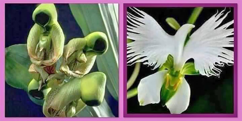 Fact Check : Flower of the Holy Spirit - From Saint To Dove!