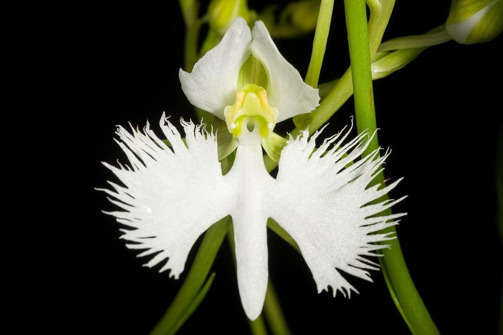Pecteilis radiata - White Egret flower