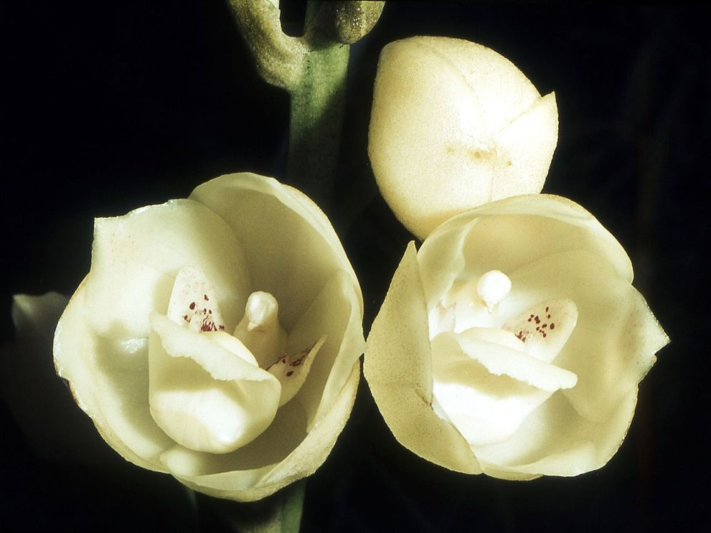 Peristeria elata - real Flower of the Holy Spirit