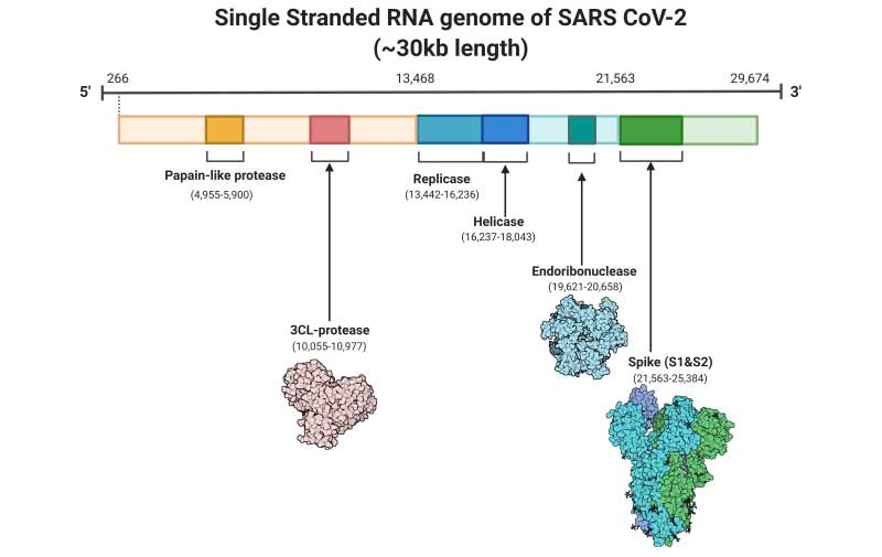 SARS-CoV-2 genome diagram