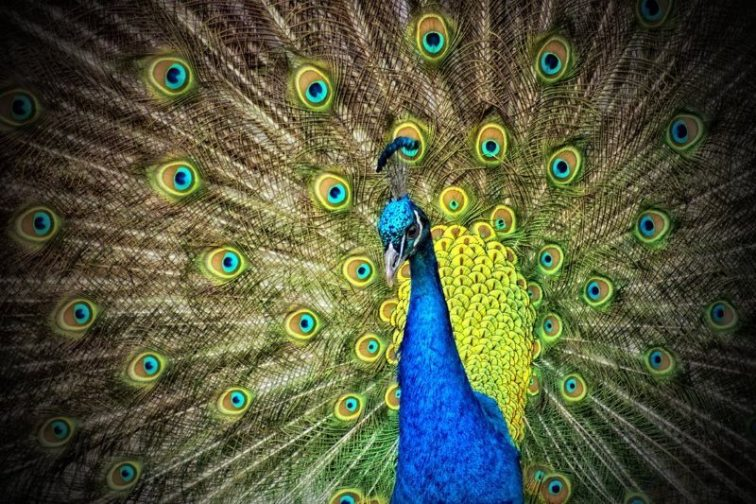 12 peacock animal iridescent