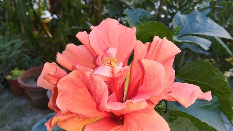 13 light red flower hibiscus