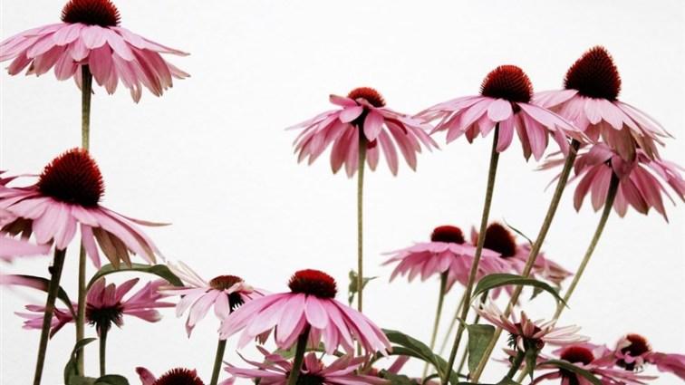 15 Bloom pink flower