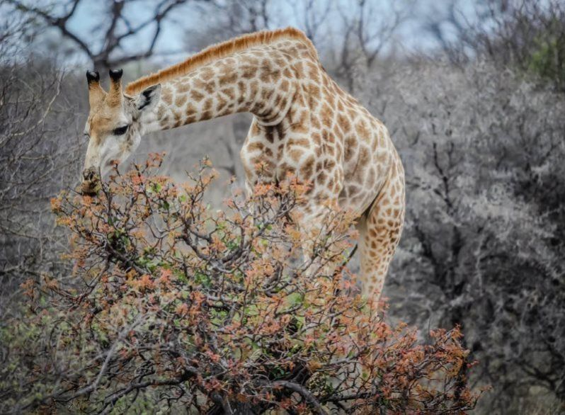 15 giraffe animal wild life
