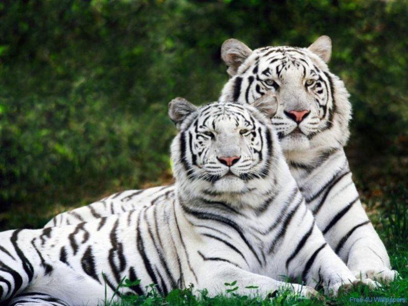 29 white tiger