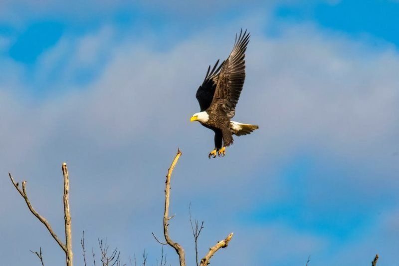 3 american bald eagle