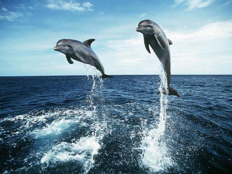 32 dolphin