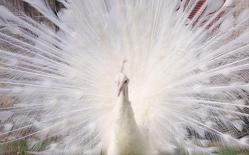 35 white peacock
