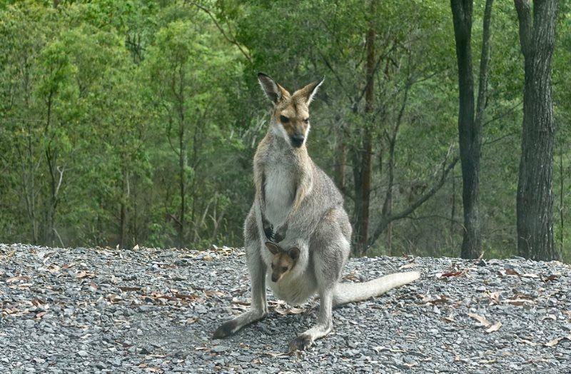 36 kangaroo