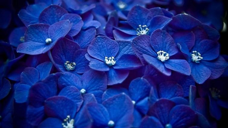37-flowers-blue-petals