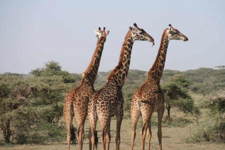 4 africa animal giraffe