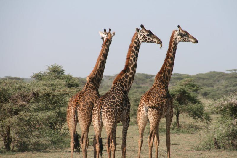 4 africa animal giraffe