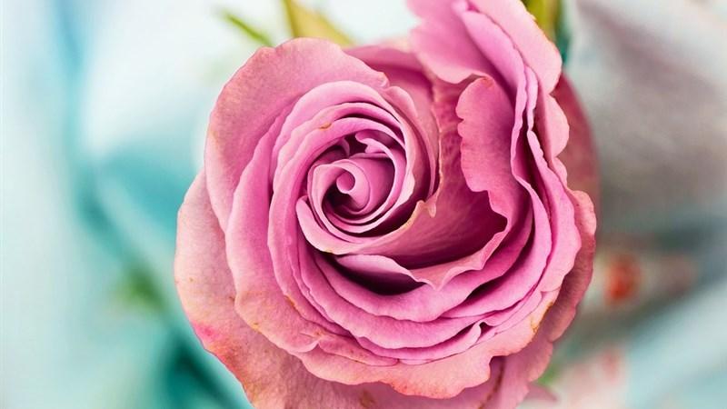 4 rose flower petal love floral