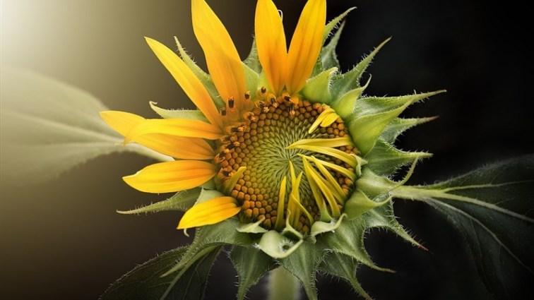 5 nature flora flower leaf sunflower