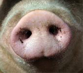 oink-pig.jpg