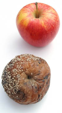 rotten-apple.jpg