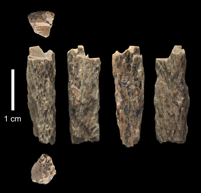 """This bone fragment (""""Denisova 11"""") was found in 2012 at Denisova Cave in Russia by Russian archaeologists and represents the daughter of a Neandertal mother and a Denisovan father. © T. Higham, University of Oxford"""